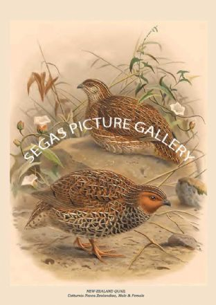 NEW-ZEALAND QUAIL - Cotturnix Novea Zealandiae, Male & Female